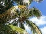 Coconuts Overhead