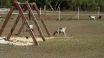 Playtime for the Goats