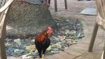 Local Rooster